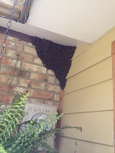 Bees Swarm in Texas