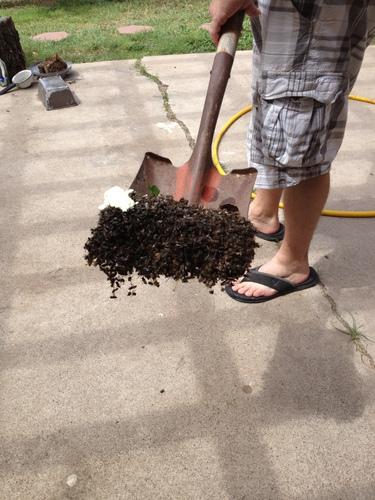 Dead Swarm Bees