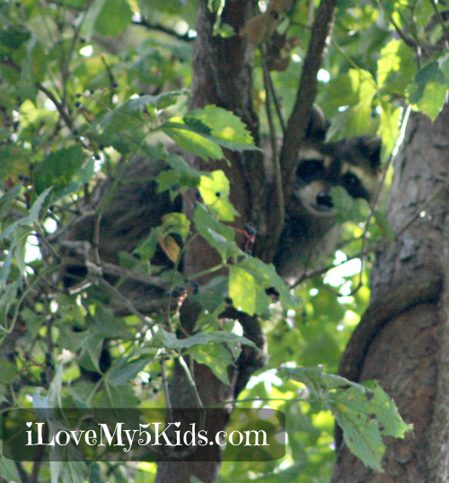 Raccoon up a tree